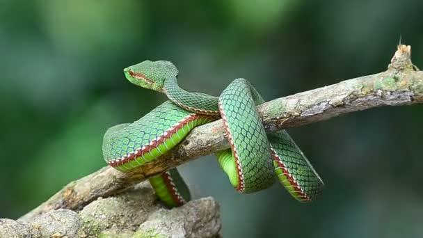 Popes Green Pitviper snake (Trimeresurus Popeia popeiorum) in forest Thailand
