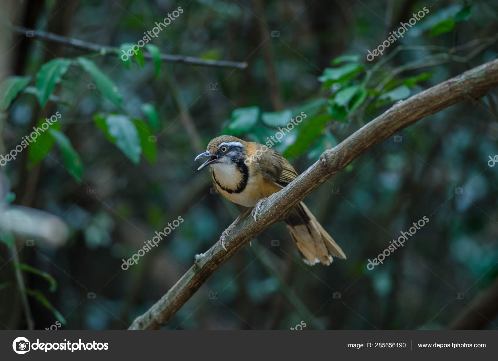Lesser Necklaced Laughingthrush Perching On Branch In Nature Stock Photo C Sirichai2514 285656190