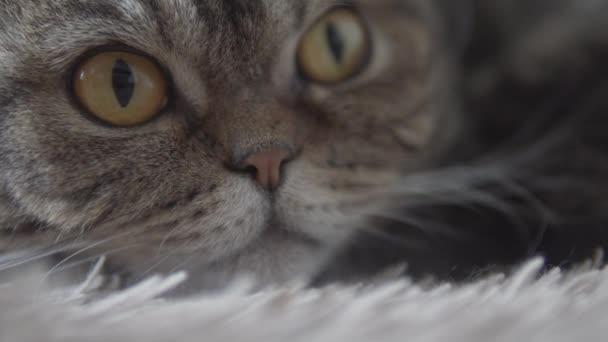 Skotská složená kočka ležící na hnědém koberci a s pohledem na výhled dopředu