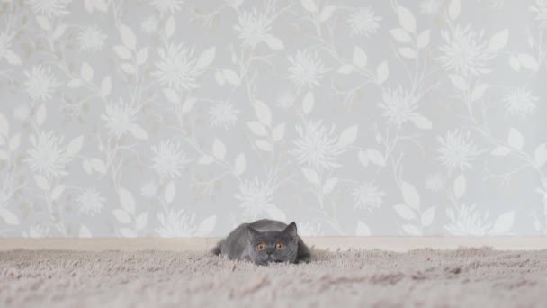 British cat chasing and looking for cat toy