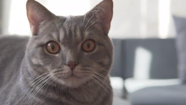 Skotský kocour na modré pohovce a díval se dopředu na kameru