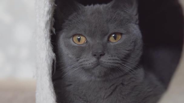 Britische Katze schläft und entspannt in ihrem süßen Katzenhaus Nahaufnahme