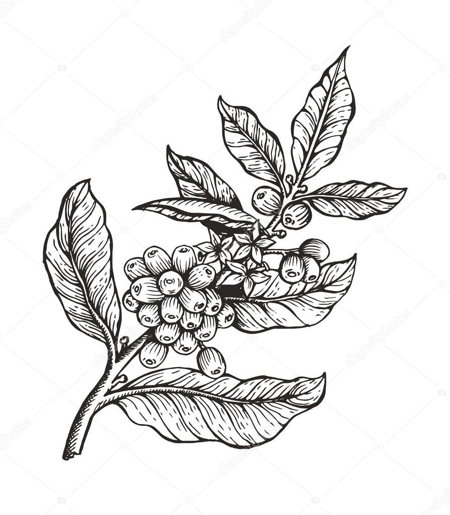 Coffee Tree with Beans Coffea Vector Illustration