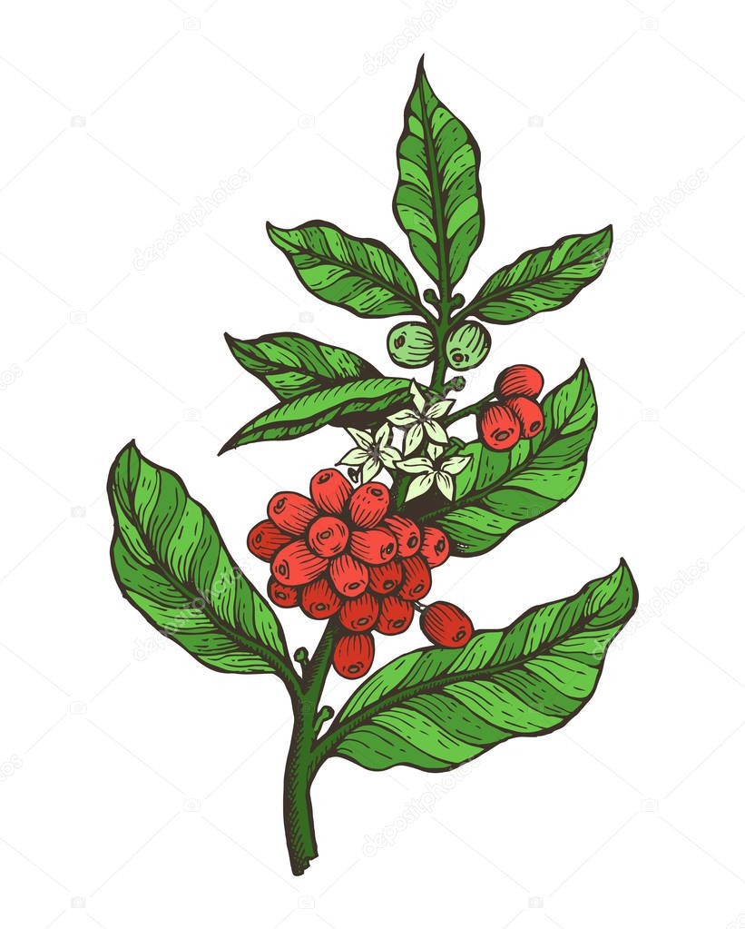 Coffee Tree Colorful Plant Vector Illustration