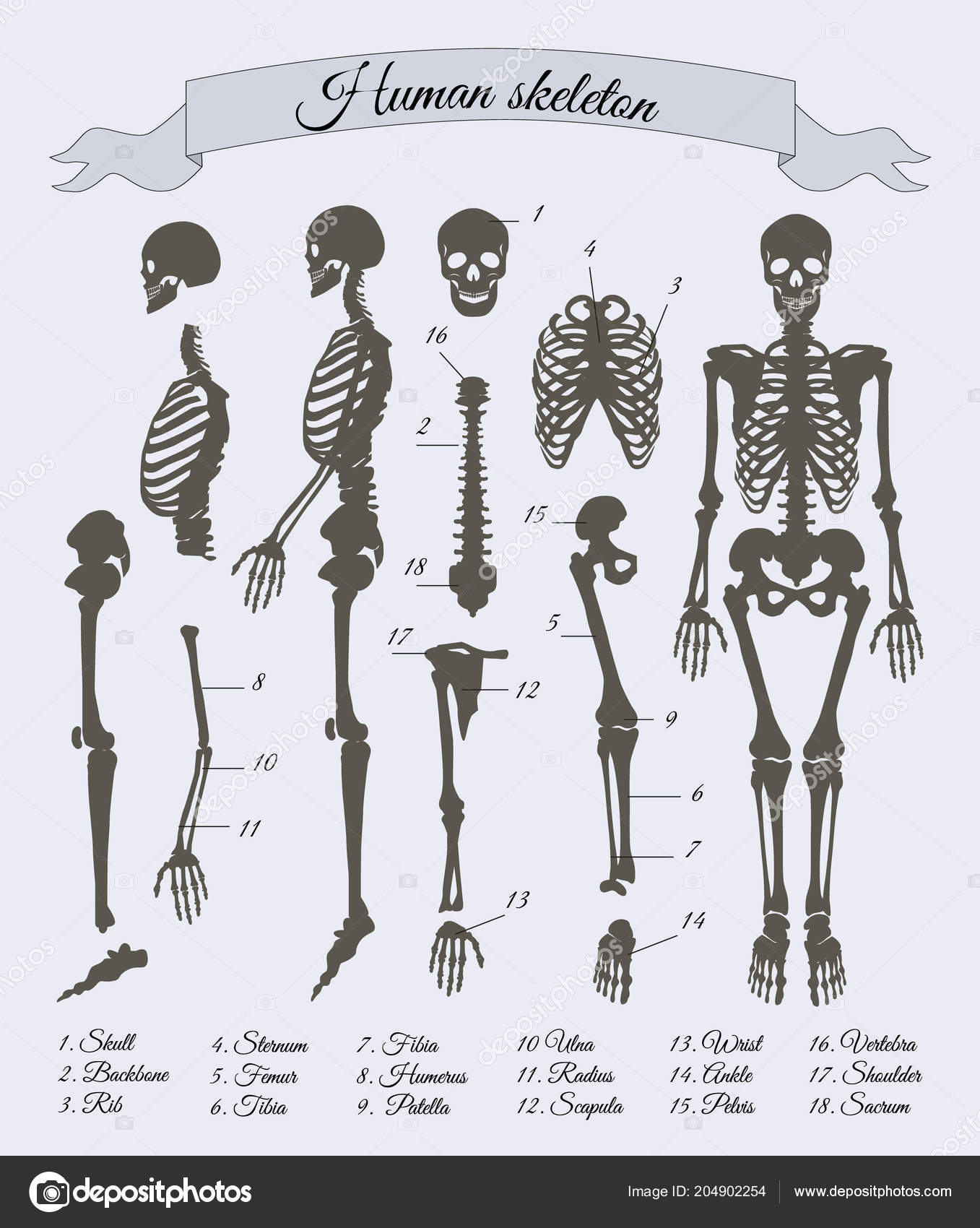 Human Skeleton And Parts Vector Illustration Stock Vector