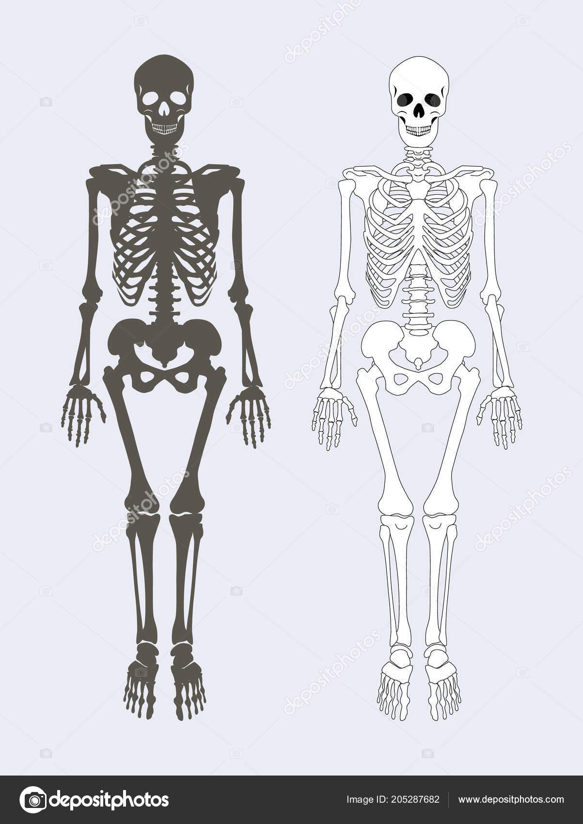 Skeleton Of Human Body Set Vector Illustration Stock Vector