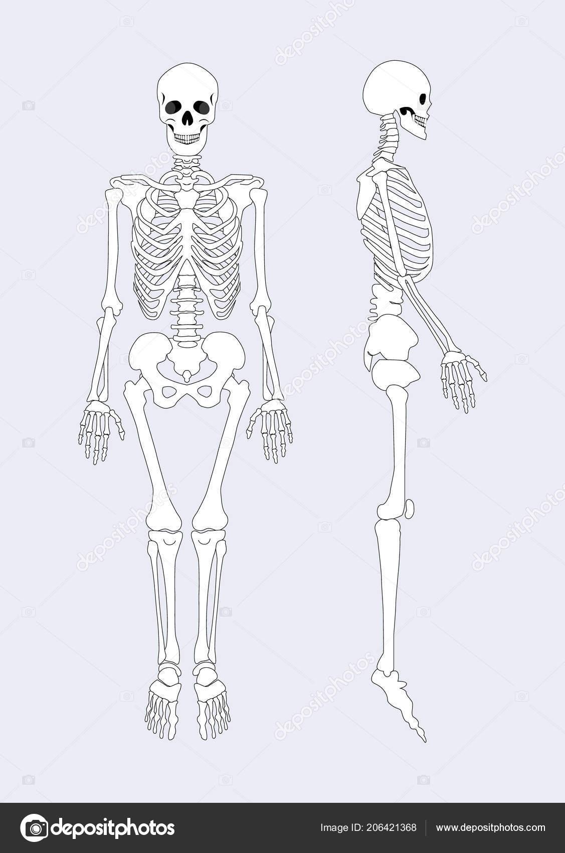 Skeletal System Of Human Body Vector Illustration Stock Vector