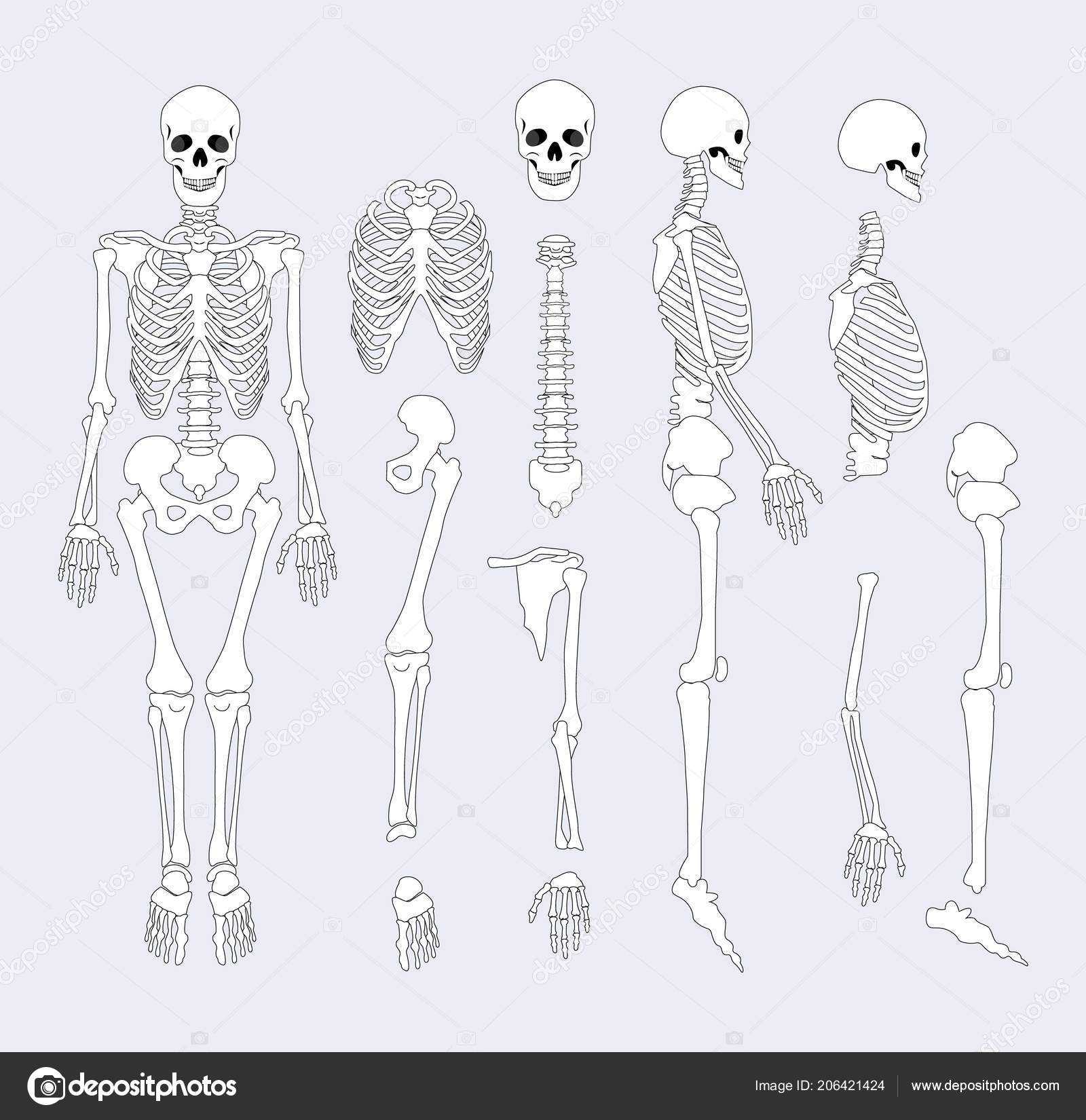 Human Skeletal System Parts Vector Illustration Stock Vector