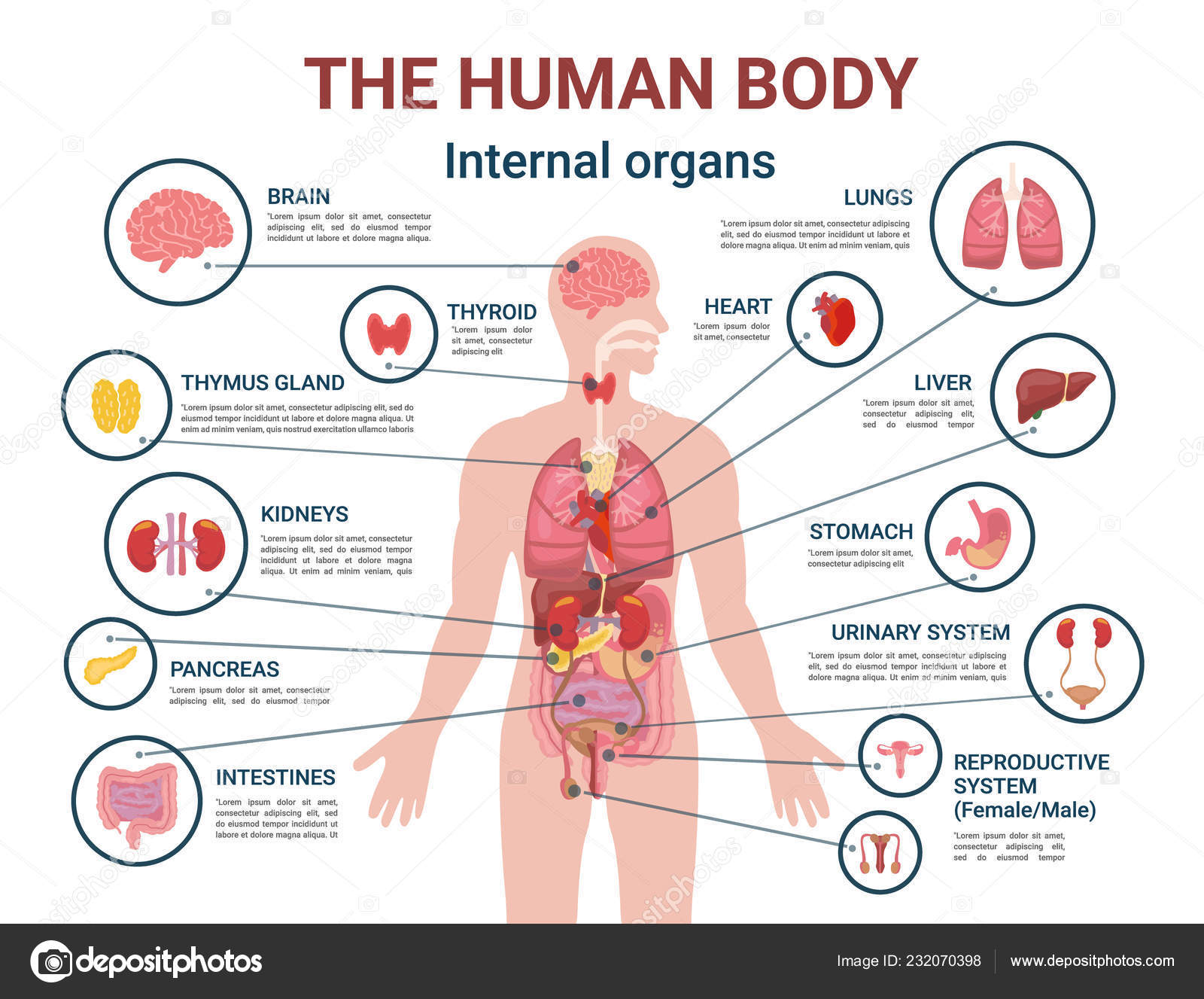 Human Body Internal Organs And Parts Info Poster Stock Vector