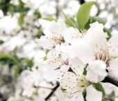 Closeup bílých květů na větvi švestka s zelené listy v rozostřený a světlé pozadí