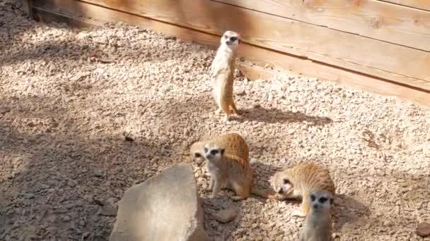 Eine kleine Gruppe Erdmännchen sonnt sich in der Morgensonne und spielt miteinander. Das Erdmännchen (Suricata Suricatta) oder Suricate ist ein kleiner Mungo. Lustige Tiere mit Babys.
