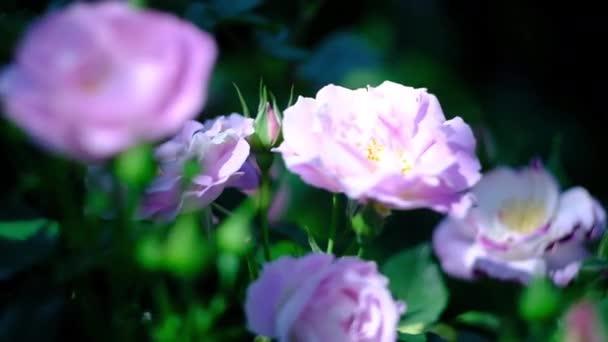 Rózsaszín rózsa rügyek a nyári rózsakertben