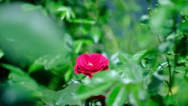 Vörös rózsabimbók a virágzó nyári rózsakertben