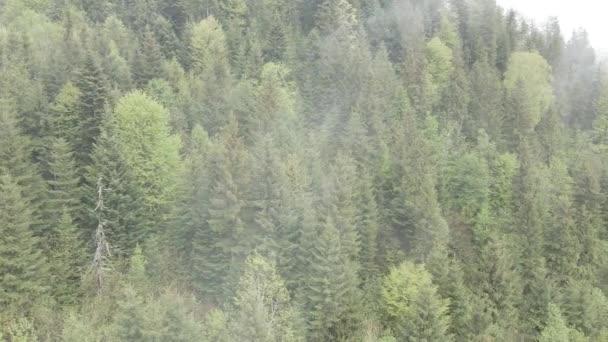 Smrkový les. Zpomal. Karpatské hory. Ukrajina. Letecký. Šedá, plochá