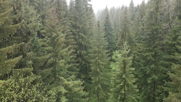 Spruce forest. Slow motion. Carpathian mountains. Ukraine. Aerial. Gray, flat