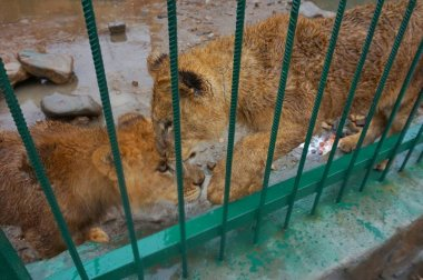 Young playful lionesses in the zoo in a cage