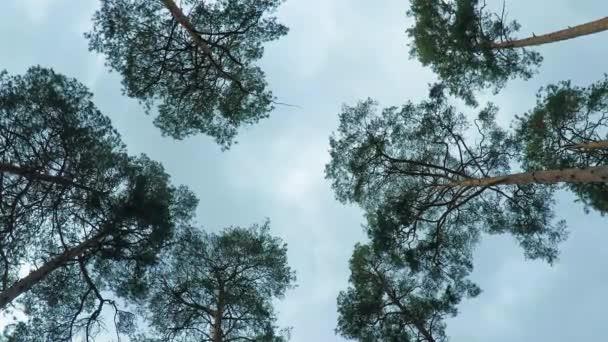 Staré stromy pinery borovice houpat se ve větru proti obloze. Kmeny stromů, kymácející, syčení větru ve větvích.