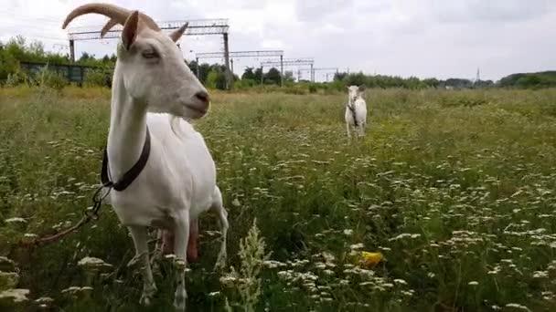 Fehér kecske hosszú szarvak Hores egy zöld rét a vasút közelében a falu Ukrajna