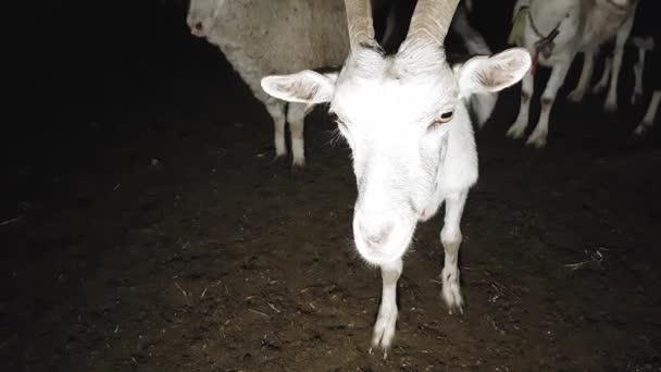 V létě byly na noc ve východní vesnici pobýváno kozy a ovce.