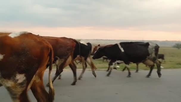 Stádo krvežilních domácích krav domů do stodoly po pastvinách na asfaltové silnici ve vesnici. Krávy jdou do kamery při západu slunce