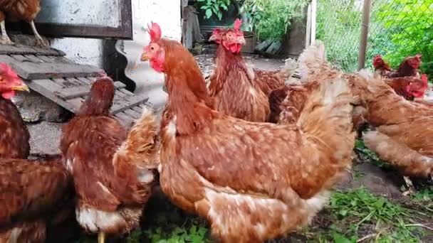 Red hens in an old rustic barn are looking anxiously at the camera.