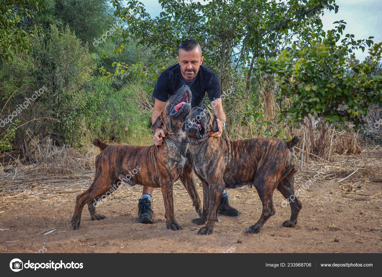 Brindle boerboel   Boerboel Breeder Man Keeps His Two