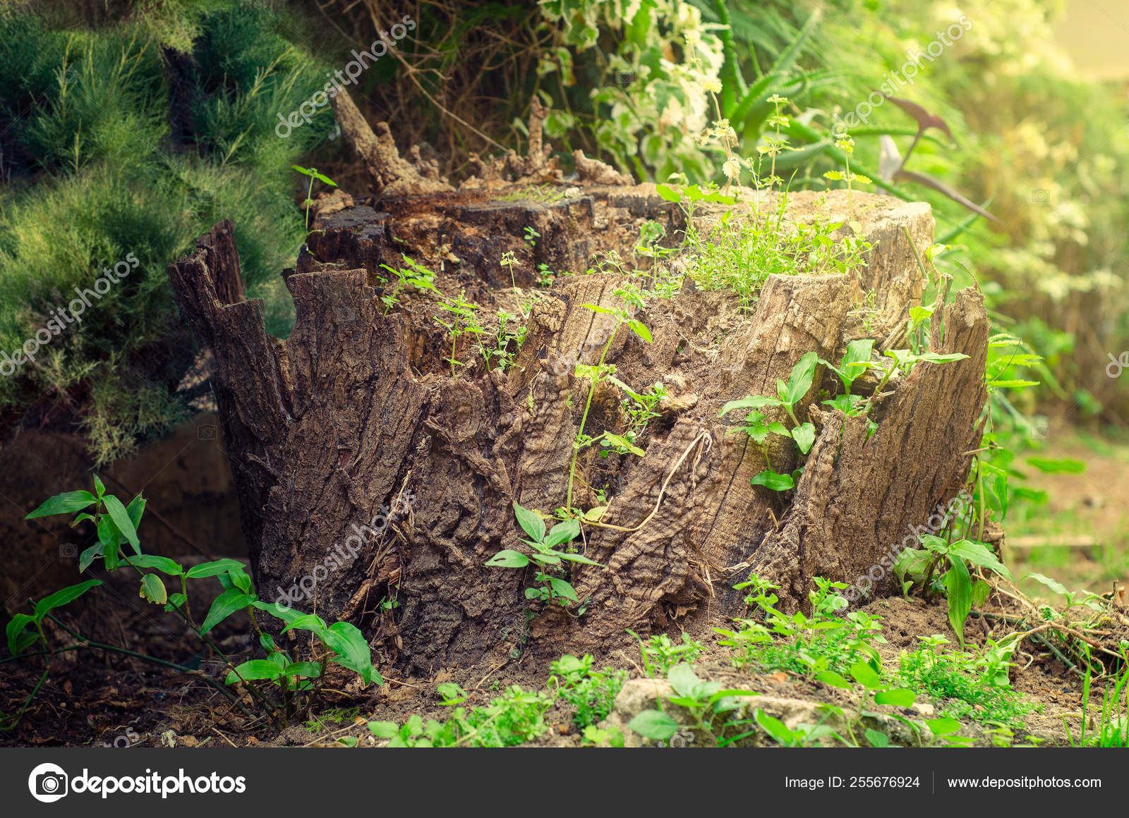 Young green grass grows on an old rotten stump in a sunny garden. Close-up picture.