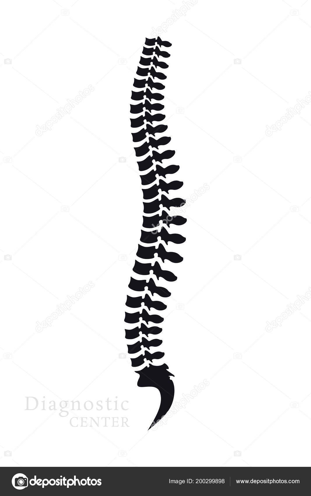 Columna Vertebral Todas Las Vértebras Cervical Torácica Lumbar Sacra ...