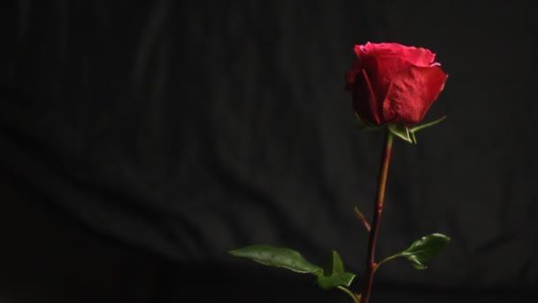 Červená růže na černém rozostřané pozadí. Mýdlové bubliny padají na květinu. Close-up. vzduchové bubliny. krásná měkká svislá růže.