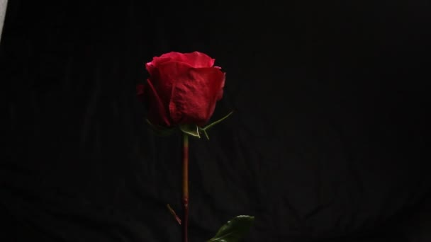 Red rose bud on a black blurred background. white smoke from a hookah envelops the flower. close-up. air bubbles fall on a flower. bubble