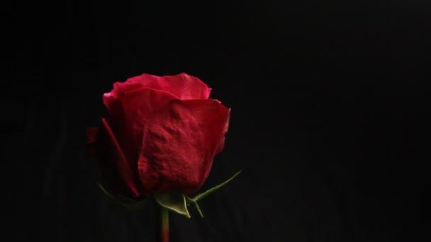 rote Rosenknospe auf schwarzem, verschwommenem Hintergrund. Der weiße Rauch einer Wasserpfeife umhüllt die Blume. Nahaufnahme. Luftblasen fallen auf eine Blume. Blase