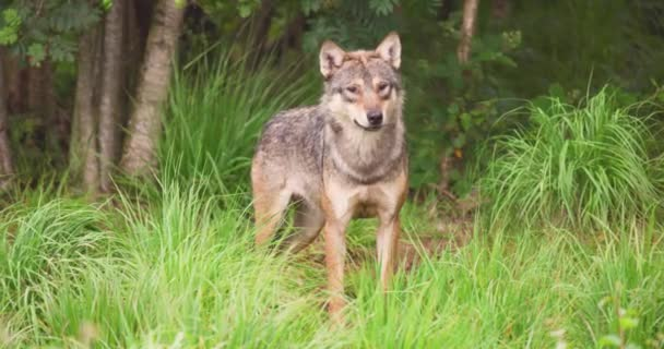 Alert wolf on field in forest