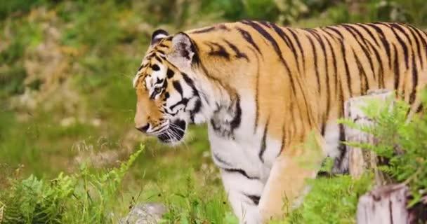 Undomesticated cat walking in forest