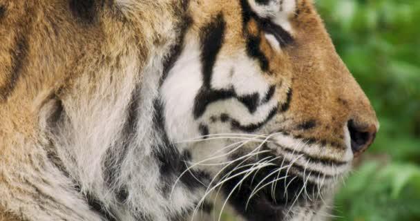 Tigris alszik az erdőben az esős évszakban