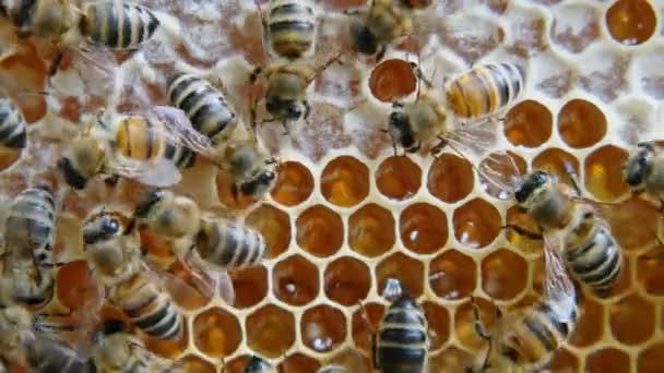 Včely medonosné produkují med. Ukončení práce včel.