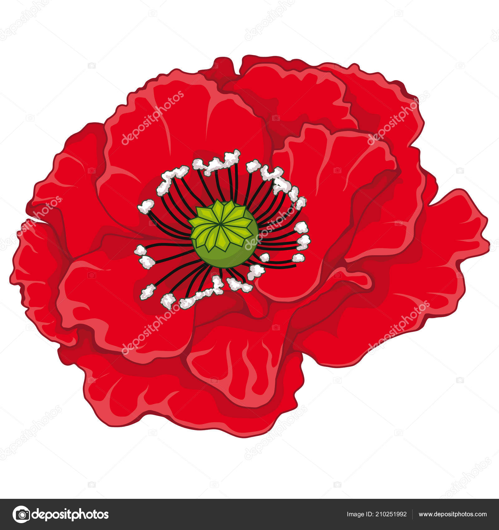 Red Poppy Blossoms Stock Illustration Isolated Image White