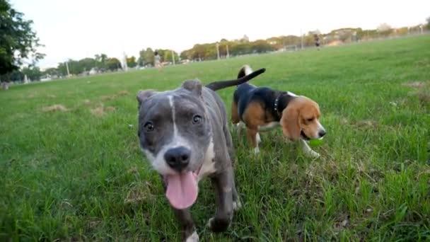 Zpomalený pohyb pitbulteriér pes v parku a beagle hraje s míčem