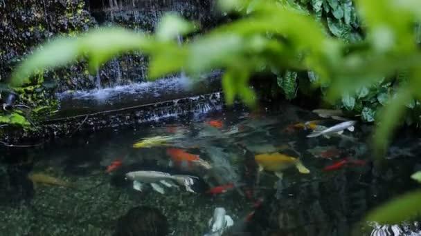 4 k japonské ozdobný kapr ryby plavou v rybníku
