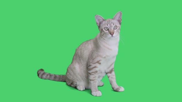4 k Tabby Kätzchen sitzen und uns etwa auf Chroma Key Hintergrund, Green-screen