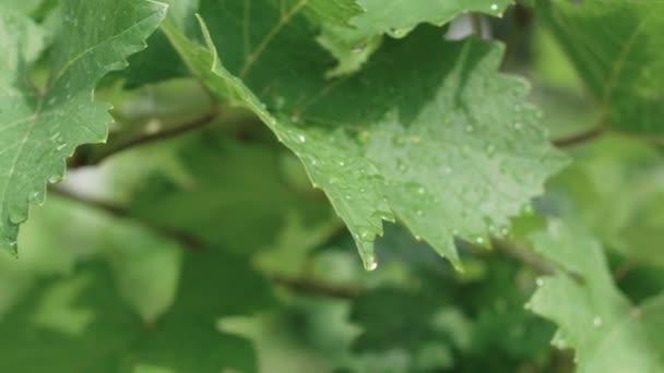 Vinný lístek s dešťovou vodou .