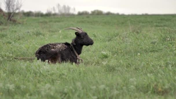 Černá koza svázaná s řetězem leží na zeleném trávníku a dívá se kolem a do kamery, je v ní tráva, v letním dni je rozmazaná..