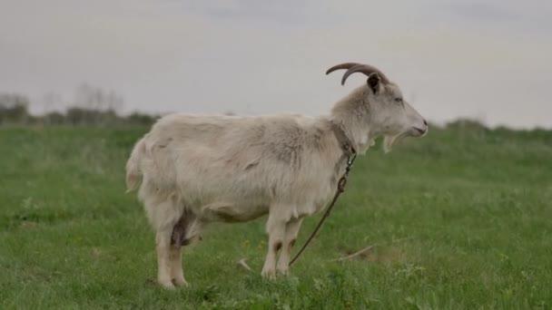 Bílá koza přivázaná k provazu se pase na zeleném trávníku a dívá se kolem a do kamery, je v ní tráva, v letním dni je rozmazaná..