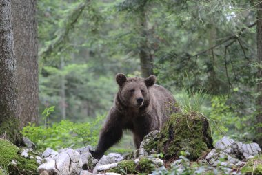 Brown bear in forest in summer time