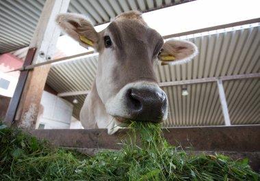 Jersey cow eating fresh grass