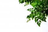 Fotografie tree branches with green leaves on white background