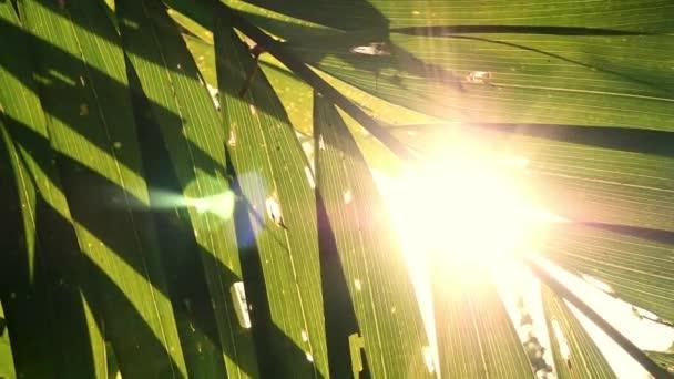 Sluneční paprsek třpytící se zelenými listy palem, vinobraní.