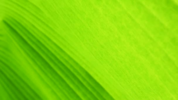 Abstract background, lush foliage banana green leaf pattern, defocused.