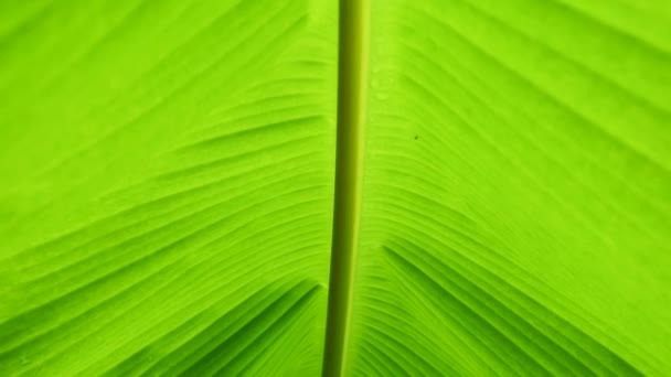Greenery abstract background, tropical plants banana leaf.