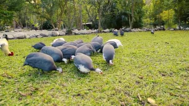 Polli di faraona e Gallo alimentazione in cortile ruspanti.