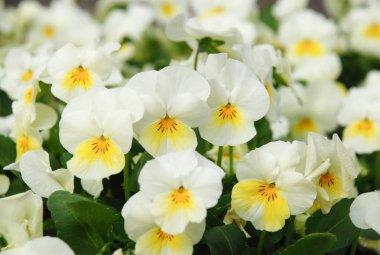 Heartsease (Viola) or Violet. Viola is a genus of flowering plan